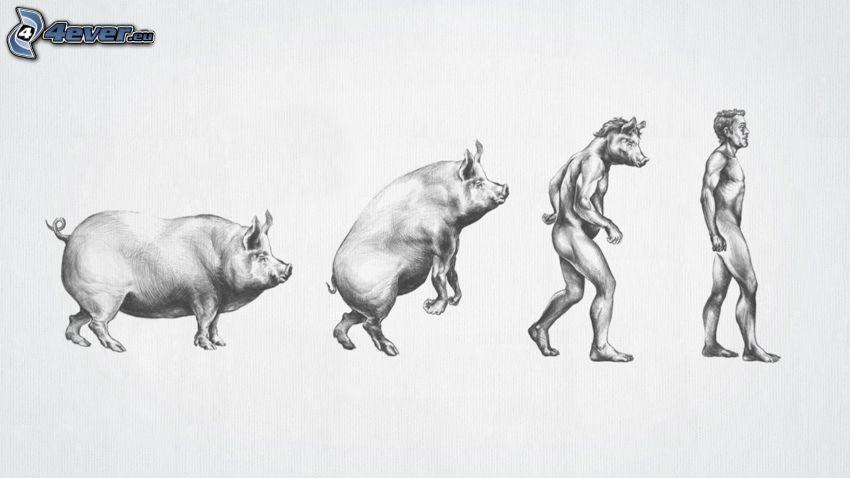 evolución, cerdo, hombre