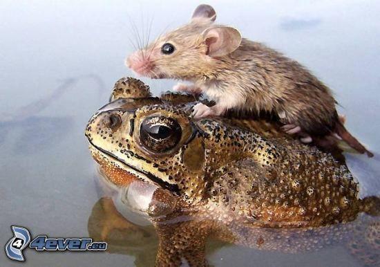 agua, rana, ratón, sapo