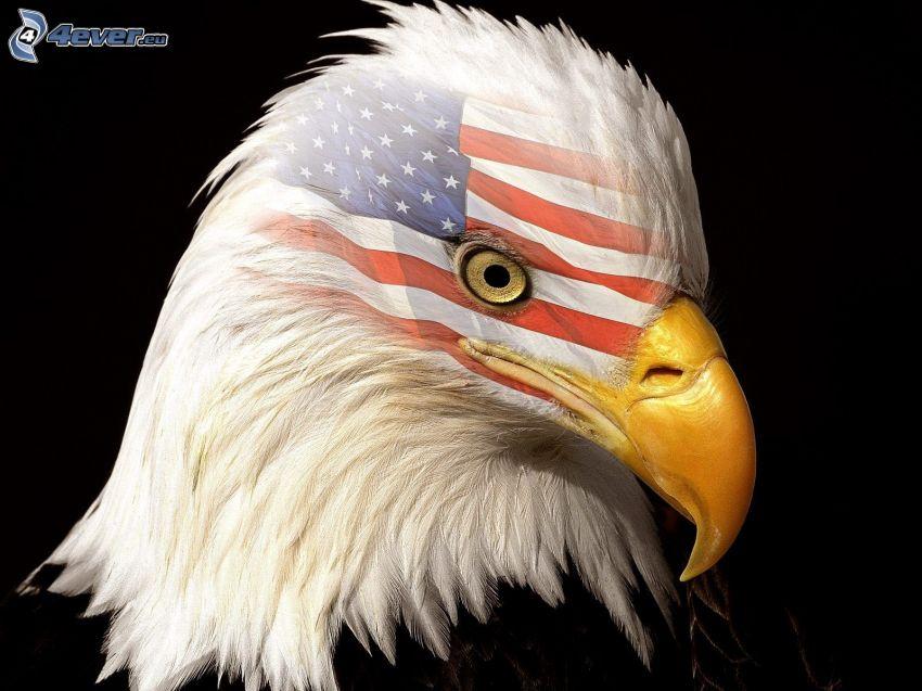 águila, cabeza, bandera americana