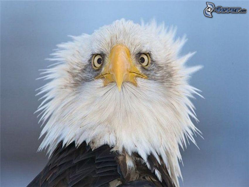 águila, cabeza, pico