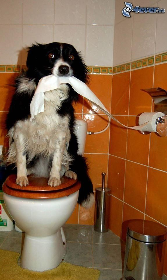 Border collie, baño, retrete