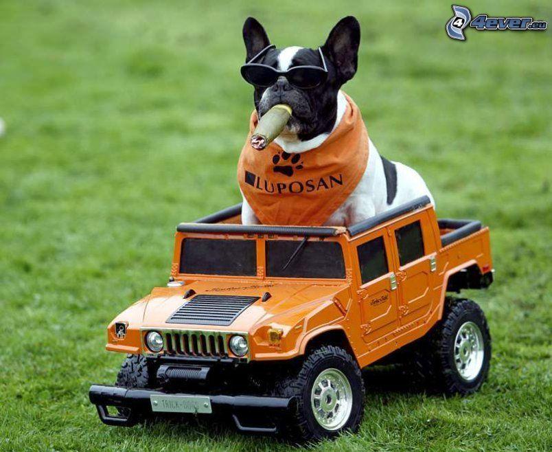 bulldog francés, cigarro, bufanda, gafas de sol, coche, Hummer, juguete, hierba