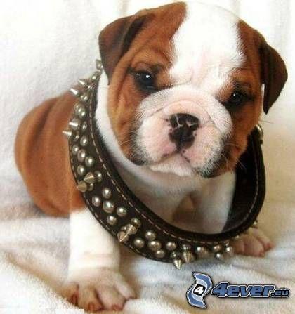 Bulldog Inglés, collar, cachorro de bulldog