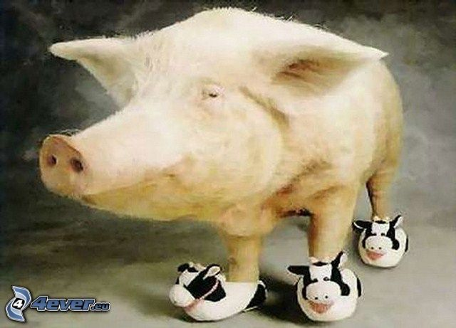 cerdo, zapatos deportivos