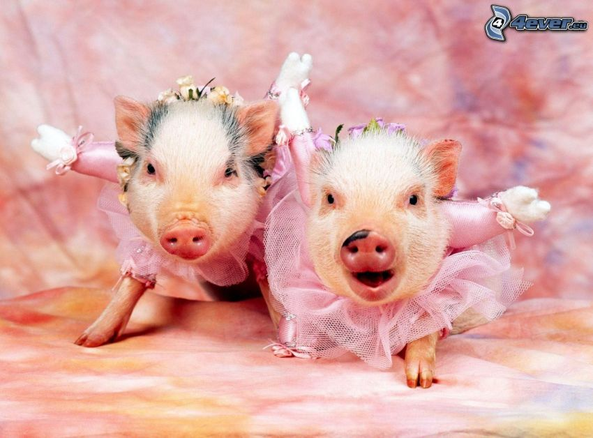 cochinos, vestido de color rosa