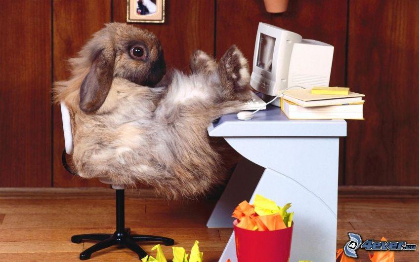conejo, ordenador, relajarse