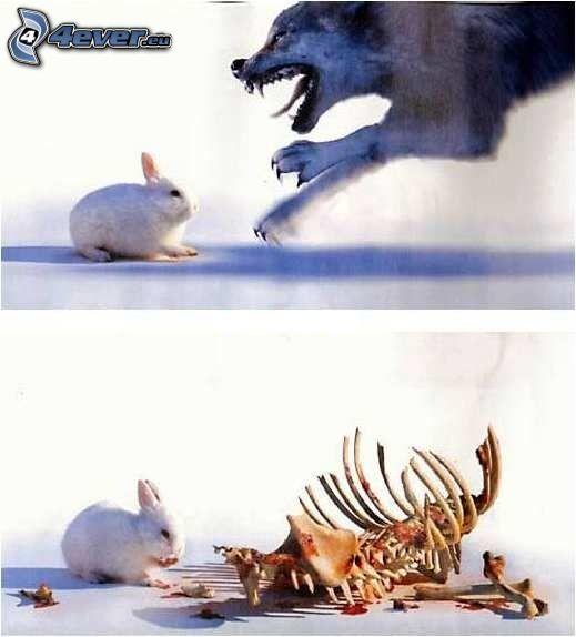 duelo, conejo, lobo, huesos