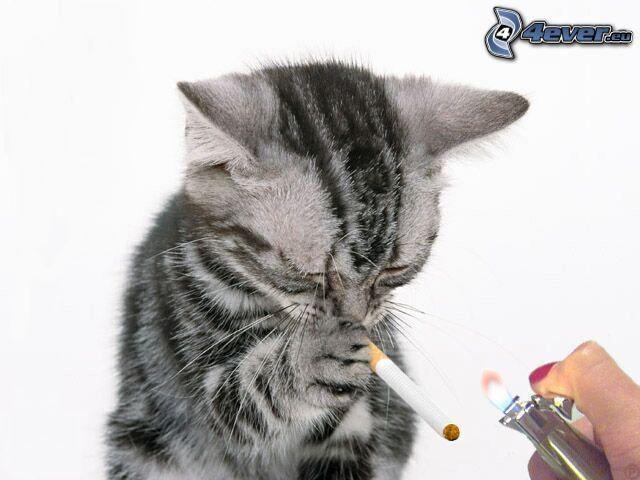 gato, cigarrillo