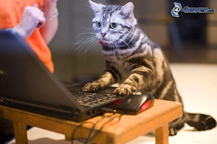 gato, notebook