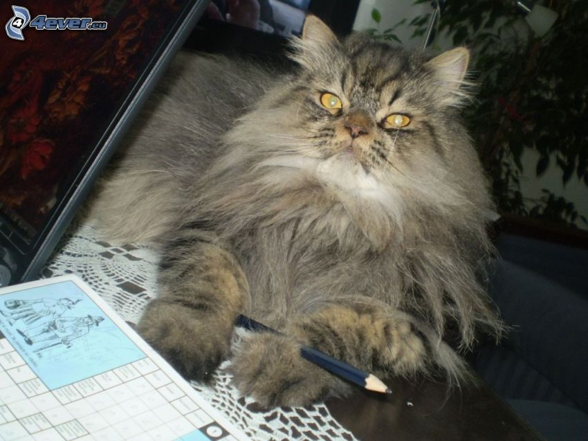 gato peludo, crucigrama