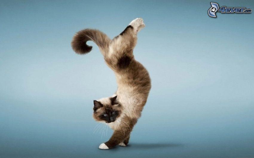 Gato siamés, acrobacia