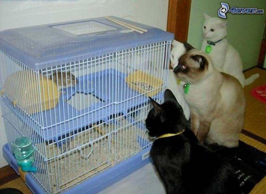 gatos, hámster