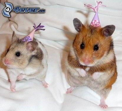 Hamsters, cama, sombrero
