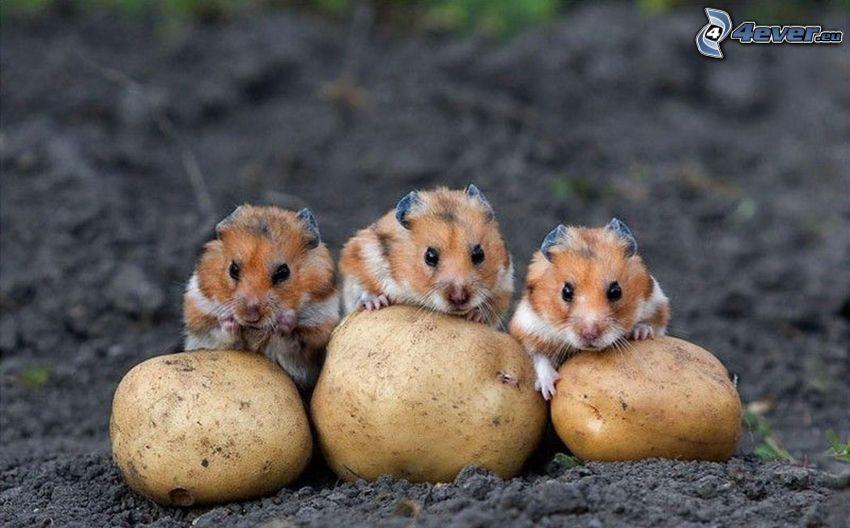 Hamsters, patata, arcilla