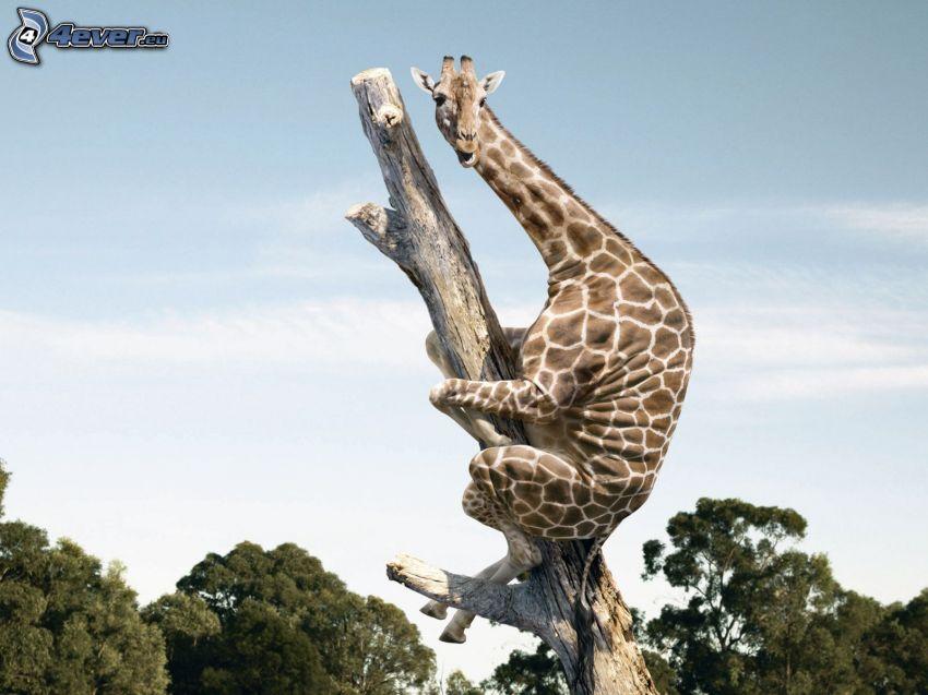 jirafa en un árbol