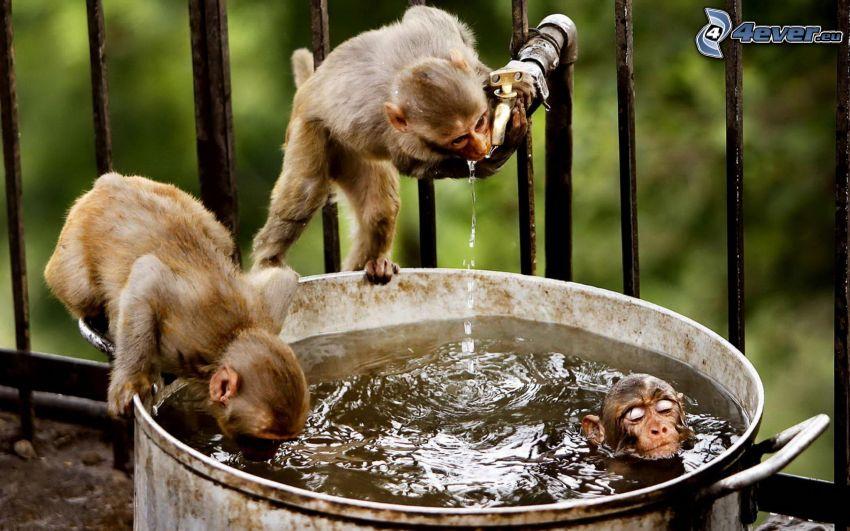 monos, recipiente con agua