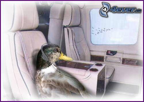 pato, avión