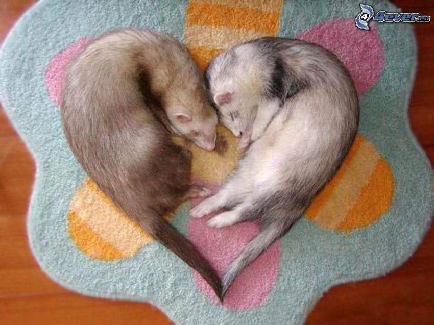 Pequeños Ferrets, corazón