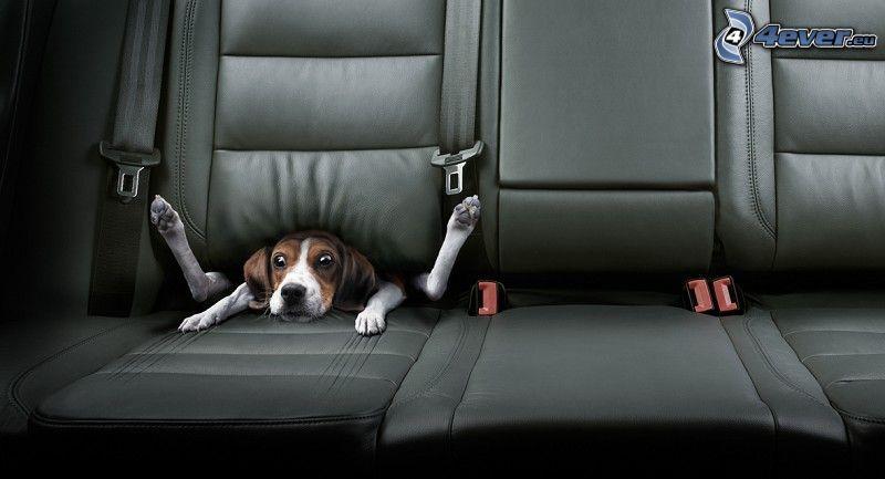 perro, asientos, coche
