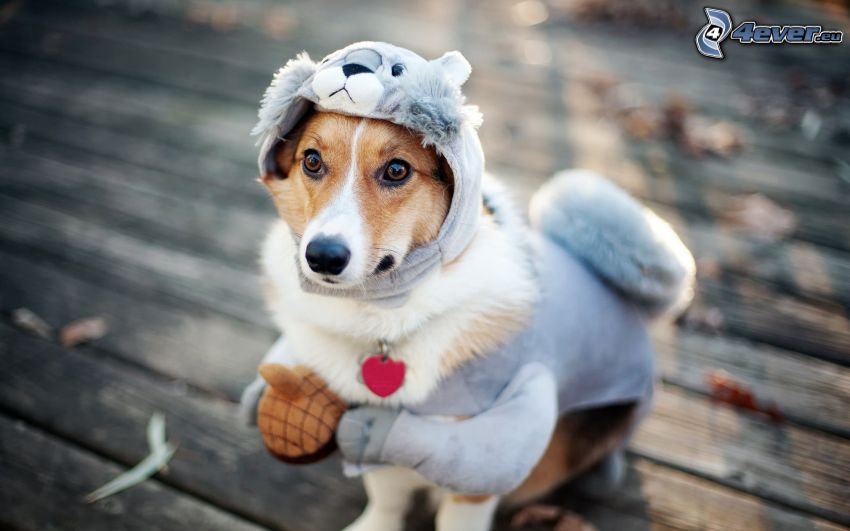 perro marrón, traje