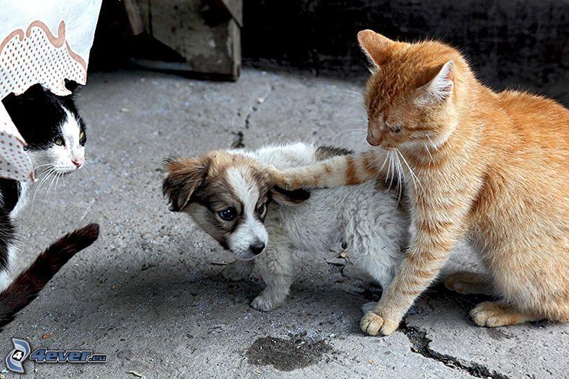 Perro y gato, cachorro, gato de pelo pelirrojo, miedo