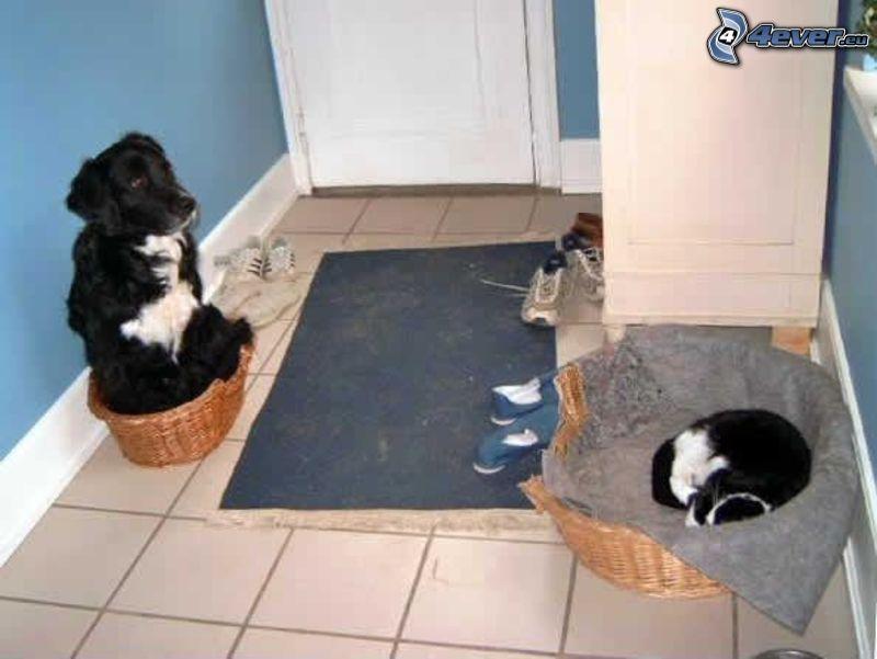 Perro y gato, intercambio, corredor