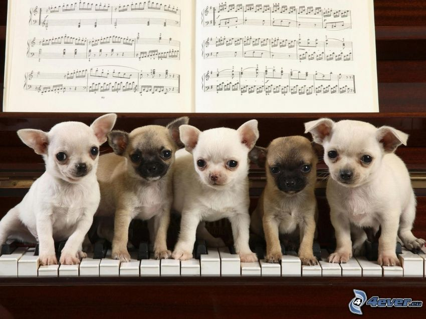 perros pequeños, chihuahua, piano, notas de música