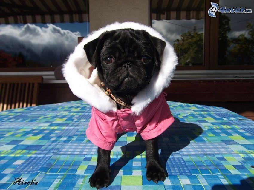 pug, chaqueta