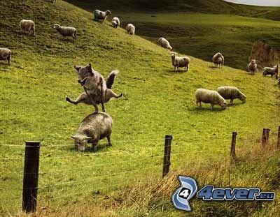 rebaño de ovejas, lobo, salto, alambre de la cerca