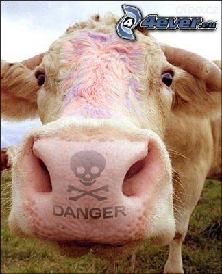 vaca, peligro