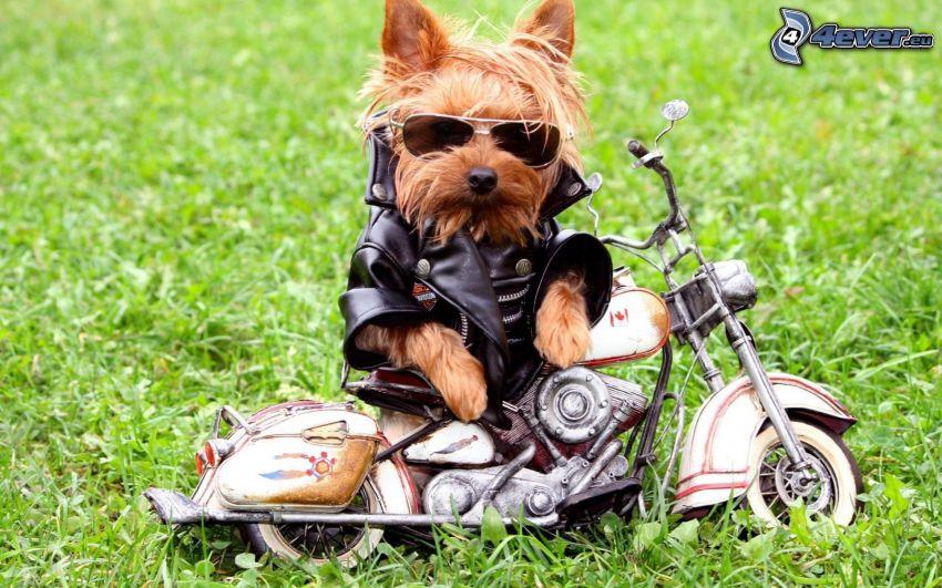 Yorkshire terrier con gafas, motocicleta, chaqueta de cuero, hierba verde