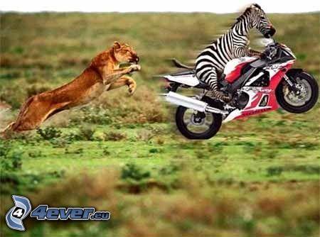 zebra, león, motocicleta