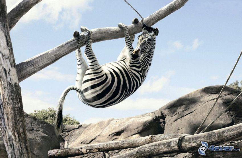 zebra en un árbol