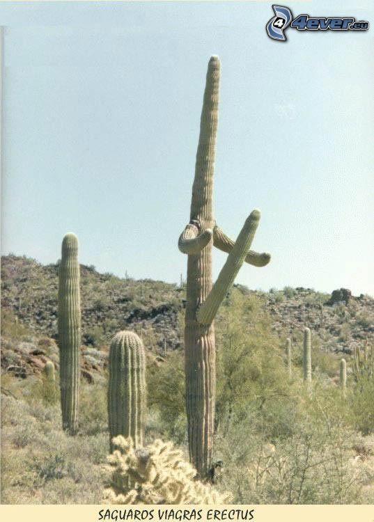 cactus, desierto
