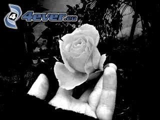 rosa, mano, tristeza, dolor