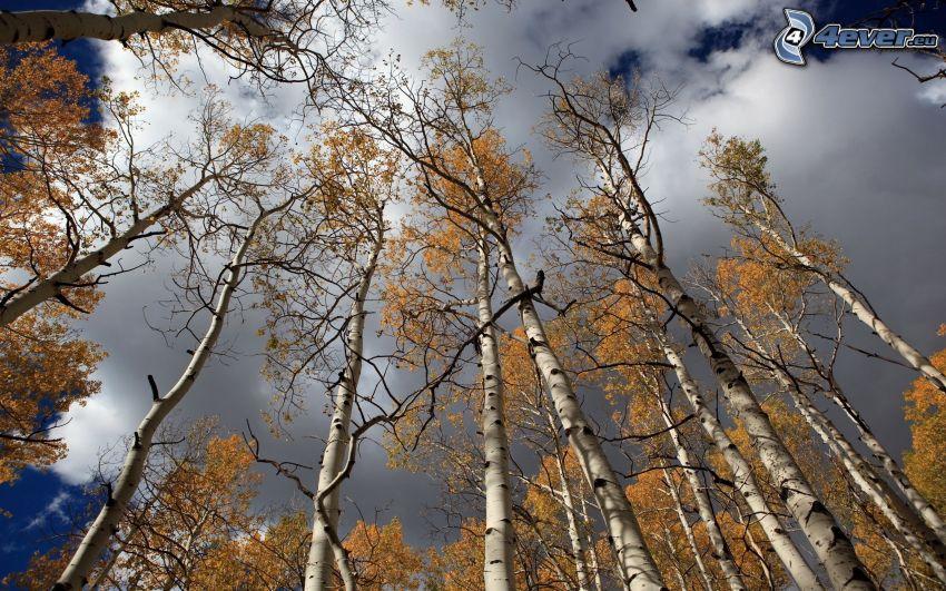 abedul, árboles otoñales