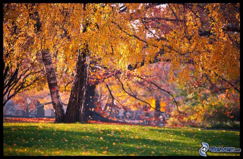 árbol amarillo, abedul