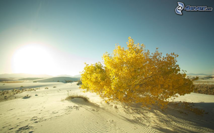 árbol amarillo, desierto, puesta del sol