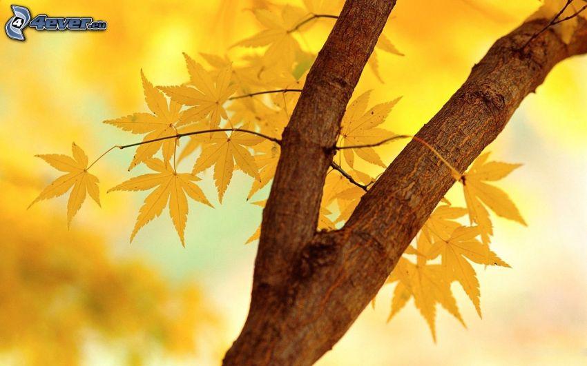 árbol otoñal, hojas amarillas