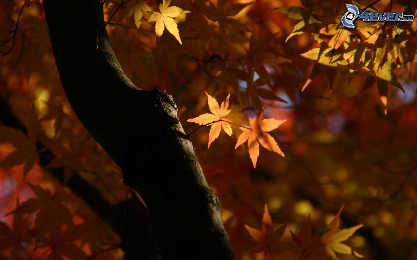 árbol otoñal, hojas de otoño
