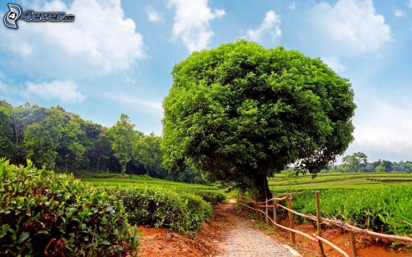 árbol ramificado, verde, prados, acera, cerco de madera