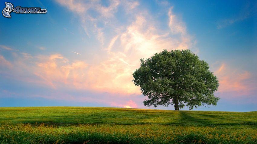 árbol solitario, prado, cielo de la tarde