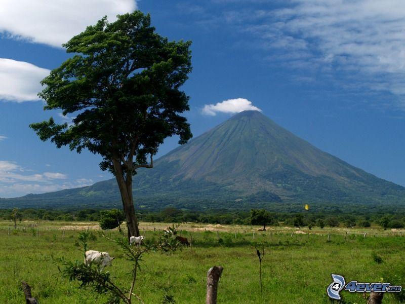 árbol solitario, volcán, Vacas, prado