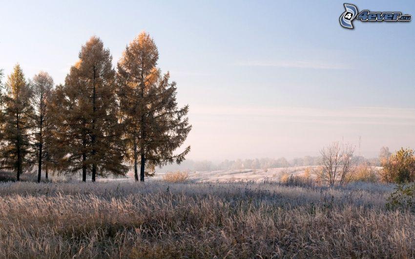 árboles coníferos, hierba helada