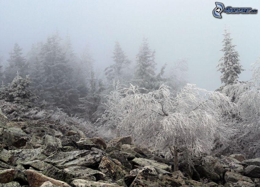 árboles coníferos, rocas, glaseado