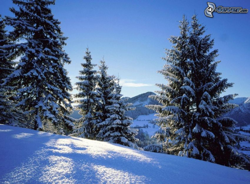 árboles nevados, árboles coníferos