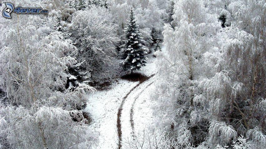 árboles nevados, camino
