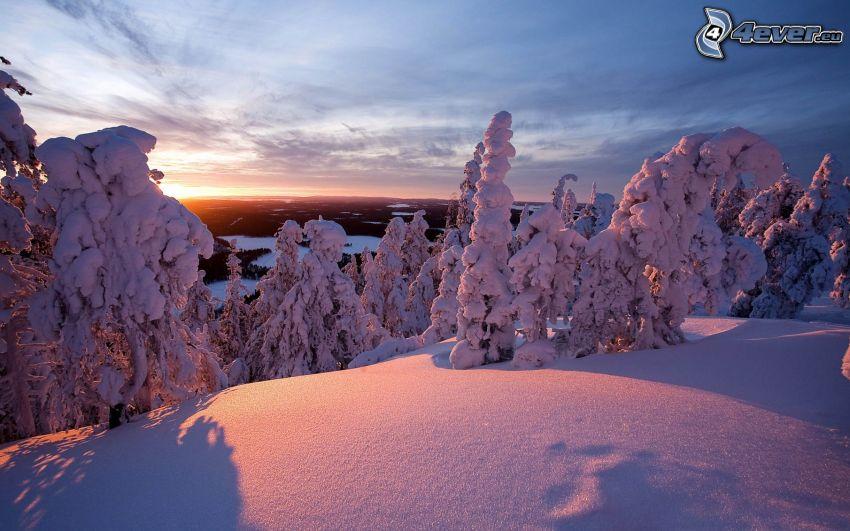 árboles nevados, nieve, puesta de sol de invierno