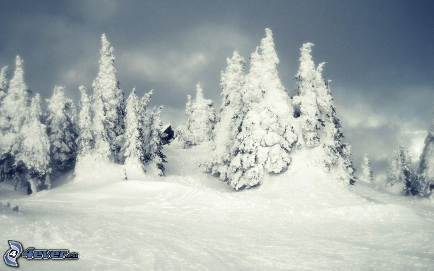 árboles nevados, nieve