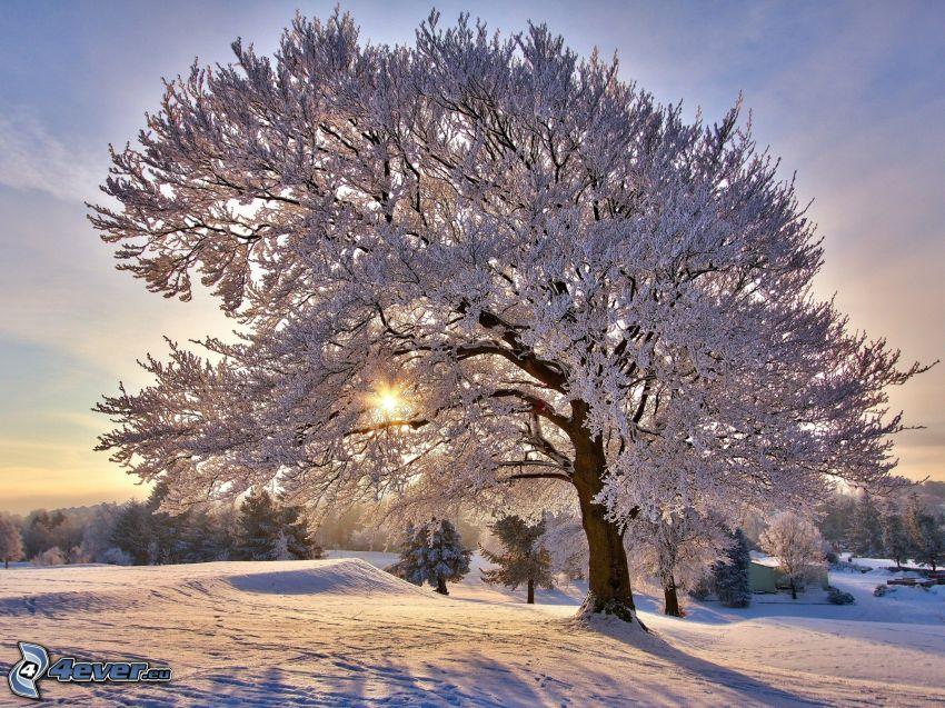 árboles nevados, sol
